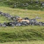 glen lyon perthshire cow