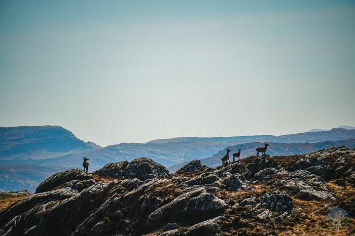 deer scottish highlands